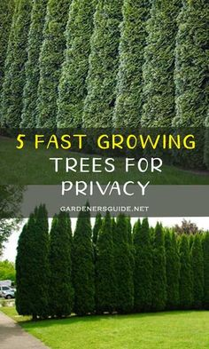 DIY Backyard Landscaping Ideas 5 Fast Growing Trees For Privacy Privacy Landscaping, Front Yard Landscaping, Landscaping Ideas, Arborvitae Landscaping, Landscaping Borders, Best Trees For Privacy, Shrubs For Privacy, Privacy Ideas For Backyard, Evergreen Trees For Privacy