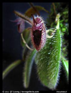 Dressleriella pilossissima. A species orchid (color)