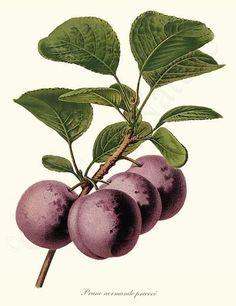 Plums Prune normande precoce Fruit Art Print.  High Quality restored antique print $19.95