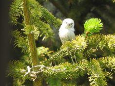 Long-tailed tit Raniuszek zwyczajny (Aegithalos caudatus) Wordpress, Owl, Bird, Animals, Fotografia, Animales, Animaux, Owls, Birds