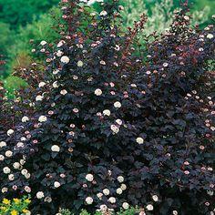 Physocarpus opulifolius 'Monlo' (Diabolo® ninebark) - a very dark purple bush with white flowers.