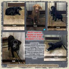 4 Females & 1 Male, Lab Mix, 6 months old CPP160597-601- ***Available for Adoption or Rescue NOW*** ALL AS LOVING AS CAN BE!! ►MUST have an adopter or rescue BEFORE 9 AM ***TUESDAY*** 11-15-16◄ Carthage Panola County Pound Carthage, TX 903-693-2877 Mon-Wed 9-4, Thurs 9-11:30, Fri 9-4 1024 US Highway 59 N Carthage, Texas carthagepanolapound@gmail.com