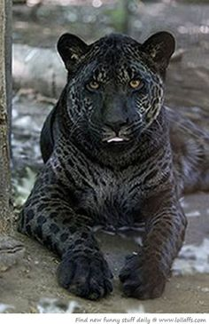 This animal looks so beautiful and different wow how incredible Jazhara, jaglion, jaguar father, lion mother