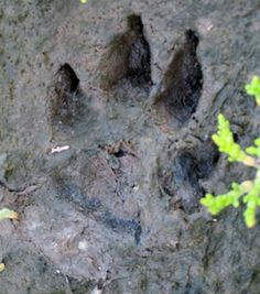 Want something fun to do outside with your kids?  Interested in learning about your furry and feathered neighbors while creating unique keepsakes?  Making animal footprint casts allows you and your kids to get creative, crafty and scientific.  I find that kids will voluntarily turn off the TV,