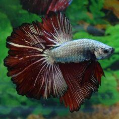 IMPORTED-OHM-Copper-Red-Dragon-Male-Betta-Otto