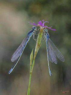 Dragonfly Photos, Blue Dragonfly, Butterfly Dragon, Butterfly Flowers, Monarch Butterfly, Beautiful Bugs, Beautiful Butterflies, Gossamer Wings, Photo Animaliere