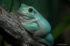 White's Tree Frog  © Jeff Grabert