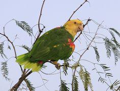 Yellow-headed Parrot (Amazona oratrix) by Arman Moreno, via Flickr