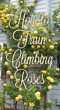Training Roses Tip