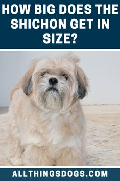 The Shichon size can be classed as a toy-sized breed. Both males and females usually fall within the range of between 10 15 pounds once fully grown. They usually stand at around 9-12 inches to the withers. Read on to find out more.  #shichon #shichonsize #shihtzubichonfrisemix Bear Dog Breed, Teddy Bear Puppies, Miniature Dog Breeds, Cute Dogs Breeds, Bichon Frise, Small Breed, Family Dogs, Outlines, Little Dogs