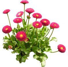 cutout flowers: coin plant