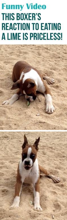 This boxer really likes the sourness of limes! #funny #dogs #lol