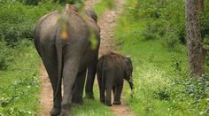 Mother Elephant Rescues Baby Elephant And You Need To See It