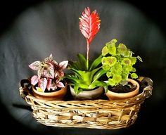 3 potted plants in basket. For gifting purposes is wrapped in cello with bow. Balloon options available for added impact. Orchid Plants, Potted Plants, Orchids, Gourmet Gift Baskets, Gourmet Gifts, Barber Gifts, Palm Beach Fl, West Palm, Terracotta Pots