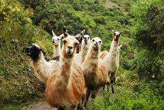 Llamas at the Inca Trail, Peru.