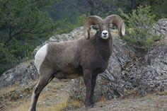 Big Horn Sheep, Jasper, AB