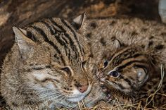 Fishing Cats Born at the Smithsonian's National Zoo. When swimming, the fishing cat may use its short, flattened tail like a rudder, helping control its direction in the water. Prionailurus viverrinus