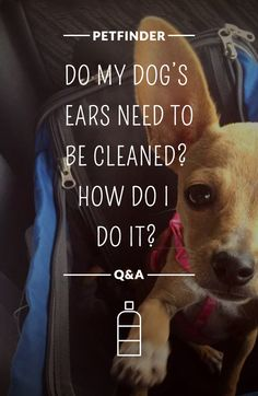 Whether they are pointy or floppy, long or short, dogs' ears are a sensitive part of their bodies. Unattended ear infections can lead to serious problems and possible hearing loss. Get the 411 on cleaning your dog's ears in Petfinder's comprehensive guide.
