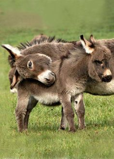 Wat zijn ze lief deze knuffelende ezels!