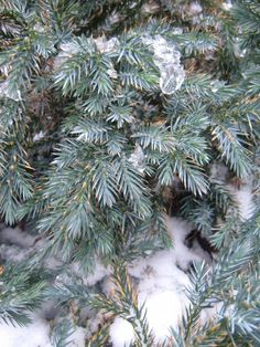 This plant has a low growing, rounded, compact growth habit. It has very rich, silvery-blue needles year around. Makes a very pretty groundcover as it matu Juniperus Squamata, Christmas Tree Lots, Stars, Holiday Decor, Plants, Blue, Gardens, Winter, Image