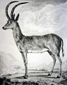 Elegant portrayal of the bluebuck, an antelope that was hunted to extinction in South Africa in 1800.