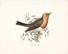 Antique Robin Illustration  Natural History by HighStreetVintage, $15.00