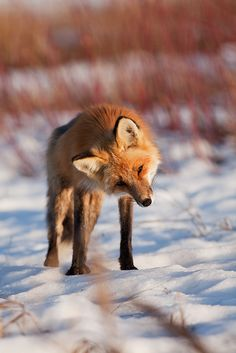 curious red fox in the snow | animal + wildlife photography