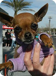 Henderson, NV - Chihuahua. Meet Minnie a Dog for Adoption.