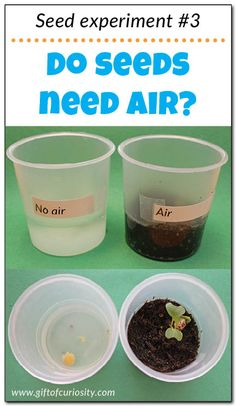 experiments for kids: Do seeds need air to grow? Teach kids about the needs of seeds with this seed experiment that answers the question: Seed Experiments For Kids, Plant Experiments, Plant Science, Science Activities For Kids, Kindergarten Science, Science Fair Projects, Science Lessons, Science Education, Nature Activities