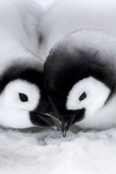Cuteness overload vol. 2! #penguins
