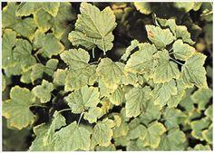 Solbærbuske med kaliummangel får brune bladrande. Kalium er et af planternes hovednæringsstoffer; I planten findes kalium opløst i celles af ten og er specielt koncentreret i knopper, unge skud og blade.