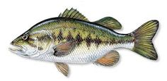 largemouth bass - - Yahoo Image Search Results