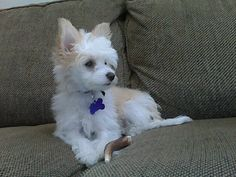 My Chinese Crested Powder Puff - Gracie