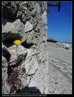 倔强的小花