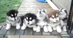 "Volume required! These Alaskan Malamute puppies are adorable and love to ""sing"" http://www.dogheirs.com/misst/posts/679-adorable-alaskan-malamute-puppies-howl-together-video."