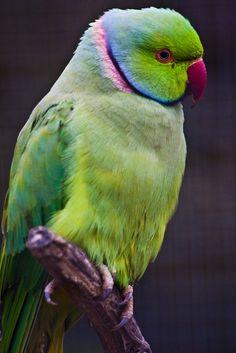 """"""" Blue Ring-Nosed Parakeet by garryknight/flickr.com """""""