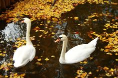 Swans in the water by AndriaMamy #animals #animal #pet #pets #animales #animallovers #photooftheday #amazing #picoftheday
