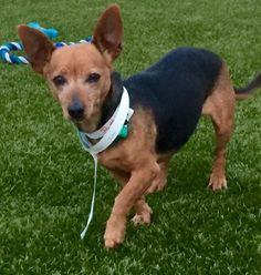 Meet Trixie (Cali 15), an adoptable Chihuahua looking for a forever home. If you're looking for a new pet to adopt or want information on how to get involved with adoptable pets, Petfinder.com is a great resource.