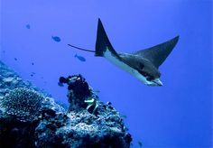 Eagle Ray in East Puerto Rico