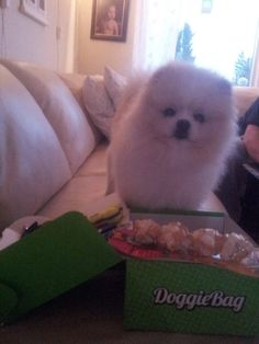 Chris - DoggieBag.no #DoggieBag #Hund #Pomeranian #Dog