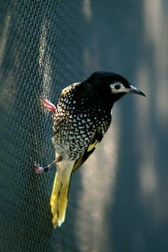 Regent Honeyeater is a critically endangered bird endemic to Australia. It feeds on nectar and insects within eucalyptus forests.