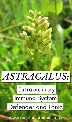 Astragalus: Extraordinary Immune System Defender and Tonic Health And Fitness Magazine, Health And Fitness Tips, Healthy Diet Tips, Healthy Living Tips, Healthy Food, Daily Health Tips, Health Advice, Herbs For Sleep, What Is Water