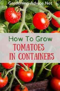 Container Gardening For Beginners Growing Tomatoes In Pots is very rewarding even for beginners. With these tips for growing tomatoes in containers and grow bags you will grow great tasting tomatoes
