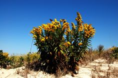 Seaside Goldenrod Barnegat Bay, Seaside, Mountains, Nature, Plants, Travel, Naturaleza, Viajes, Beach
