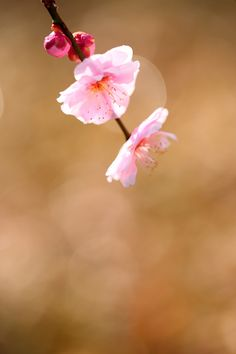 "500px / Photo ""Pink of Spring"" by Ken Shimo"