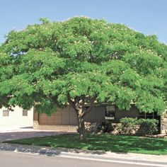 The Mimosa is a gorgeous flat-topped deciduous tree that brings a special rainforest effect to the Sonoran desert. The very hardy and heat loving Mimosa is ideal wherever a full, dense canopy is desired during the summer months