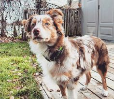 THIS palette but also with the gray/black in my blue merle dog too – the colors in my dogs! Inspiration for Home Paint and Color Scheme. Australian Shepherd Red Merle THIS palette but also with th Shares Red Merle Australian Shepherd, Aussie Shepherd, Australian Shepherd Puppies, Aussie Puppies, Cute Puppies, Cute Dogs, Dogs And Puppies, Doggies, Awesome Dogs