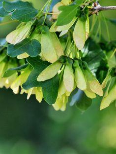 Acer monspessulanum L.  Flora d' Aragó