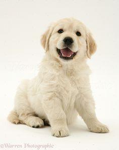 White Golden Retriever Puppy .