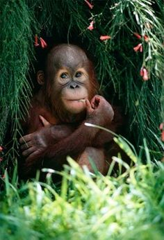 A baby orangutan munches grass under a tree at the Gladys Porter Zoo in Brownsville, Texas. Young orangutans live with their mothers until they are around seven years old.
